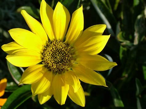 flower pic elva barnett yellow flower wallpaper