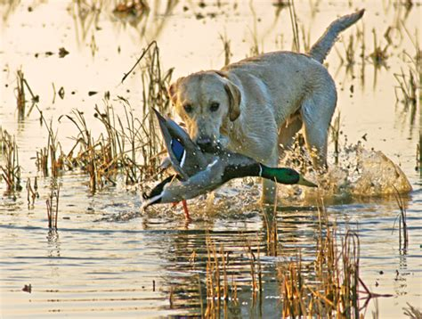 duck puppy how to get peak performance from your duck greenhead
