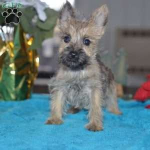 cairn terrier puppies ohio cairn terrier puppies for sale greenfield puppies