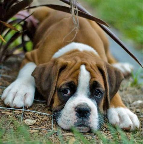 boxer puppy boxer puppies are the cutest styli wallpapers