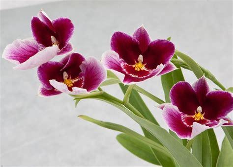 orchidea fiore cura orchidea cura orchidee come curare l orchidea