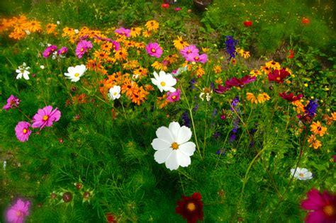 garden flower seeds higgledy garden