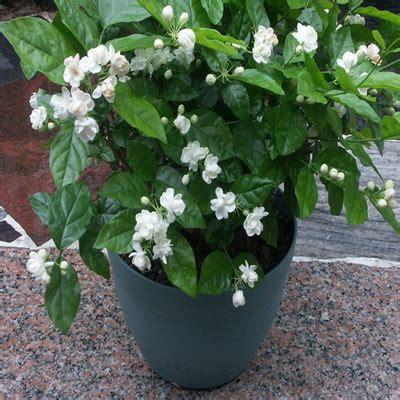 wholesale seedspack balcony potted jasmine flower