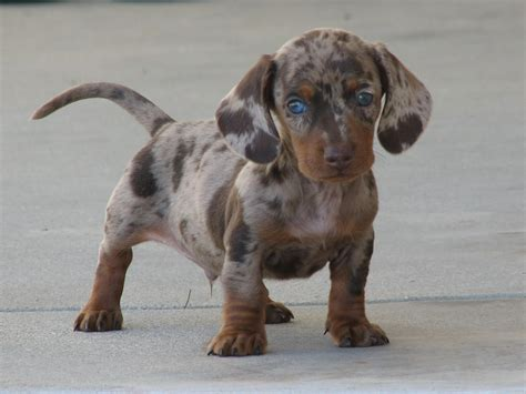 miniature puppies miniature dachshund facts info temperament puppies pictures