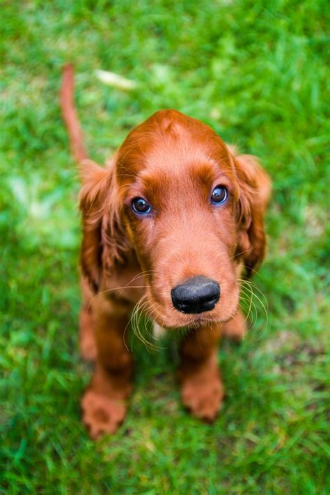 setter puppies 25 best ideas about setter on setter dogs setter