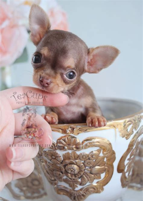 chihuahua puppies for sale florida teacup chihuahuas and chihuahua puppies for sale by teacups puppies boutique