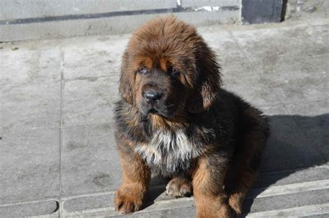 mastiff puppy tibetan mastiff info puppies sale cost facts pictures