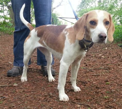 beagle puppy rescue rescue poppy beagle peterborough cambridgeshire pets4homes
