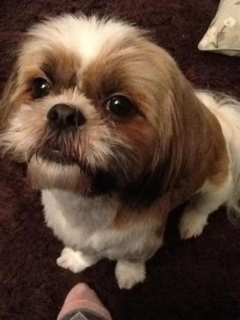 shih tzu information and facts shih tzu facts and information viovet
