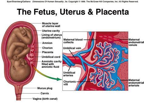 placenta diagram fetal uterus and placental diagram human biology