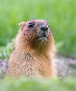 groundhog day zodiac groundhog day roots astronomy spiritual meaning