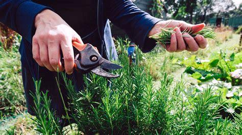 info manfaat   menanam tanaman rosemary gitacintacom