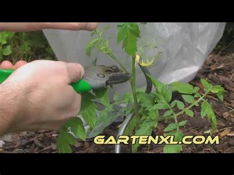 Tomaten Ausgeizen Anleitung 5184 by Tomaten Pflanzen Ausgeizen Schneiden Pflegen
