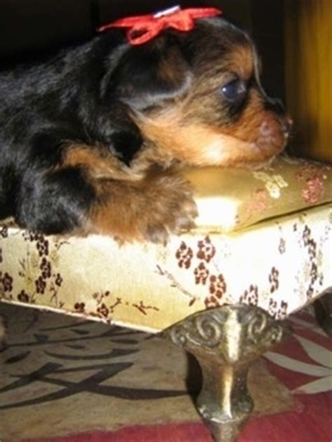 yorkie pregnancy stages whelping and raising puppies terrier bea stay with your dam