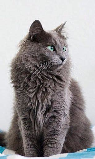 37 best nebelung cat images on nebelung gray