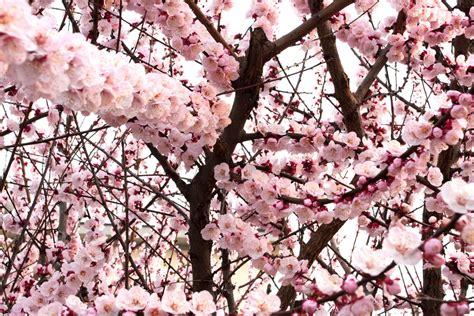 fiori albicocco albicocco