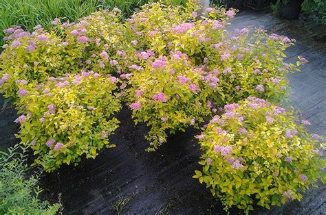 cespugli giardino arbusti e piante da vaso e da giardino in vivaio a