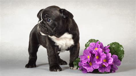 black pug wallpaper wallpaper bouquet pug black pug and flowers