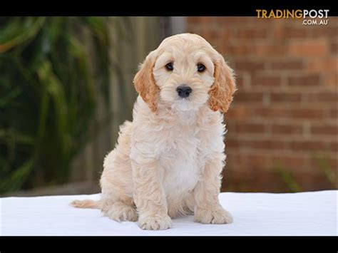 cocker spaniel poodle puppies spoodle cocker spaniel x poodle puppies for sale in hoppers crossing vic