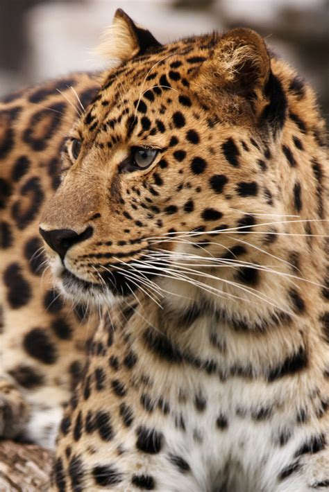 domain leopard image the graphics leopard on alert free stock photo domain pictures