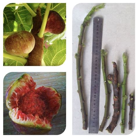 Bibit Stek Tin jual beli bibit stek batang buah ara fig cutting fig