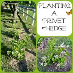 Planting A Privet Hedge Cottage At The Crossroads