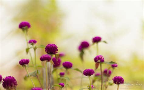 Gamis Purple Flower 1 lila gartenblumen hd desktop hintergrund widescreen high definition vollbild