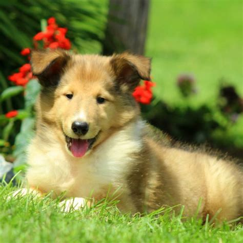 collie puppies for sale collie puppies for sale collie breed profile greenfield puppies