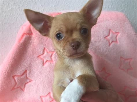 chihuahua sucht zuhause chihuahua welpe sucht ein zuhause in frankenthal hunde