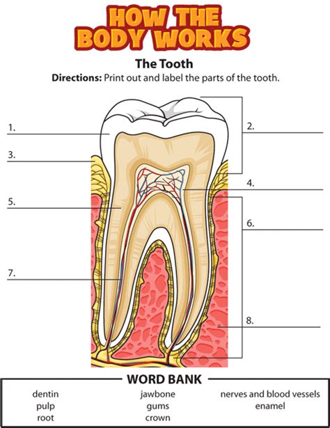 diagram of a tooth to label activity teeth