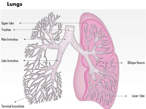 diagram of lung lobes lungs diagram lobes choice image how to guide and refrence