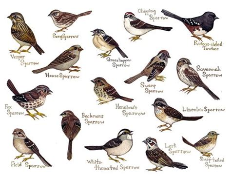 different species of sparrows i think they are a cute and