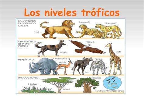 cadena alimenticia jirafa biologia presentacion ecosistemas