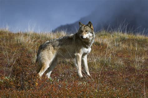 the the wolf oregon retreats from wolf protection as possible setup