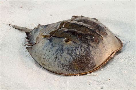 house shoe crab 10 hard shelled facts about horseshoe crabs mental floss