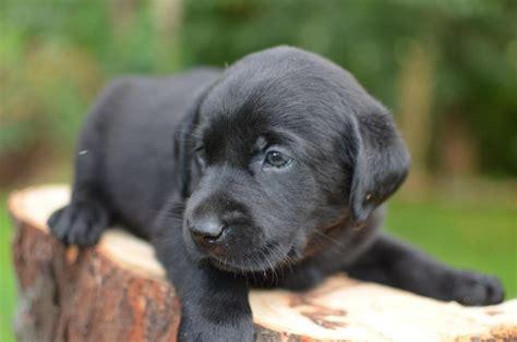 black lab puppies for sale in ohio lab breeders ohio breeds picture