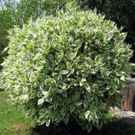 jual bibit tanaman hias bunga bibit beringin putih