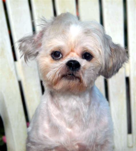 local shih tzu rescue image gallery shih poo rescue