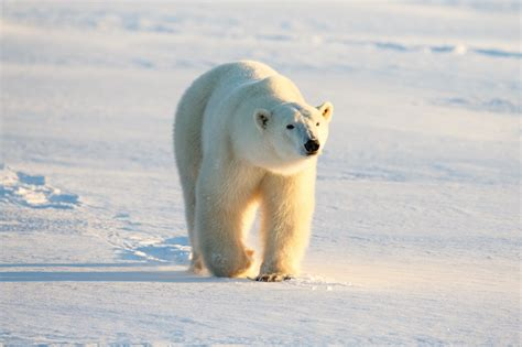 polar bear polar bear 0141383518 polar bear facts conservation polar bears international