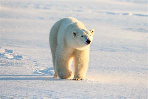 polar bear polar bear polar bear facts conservation polar bears international