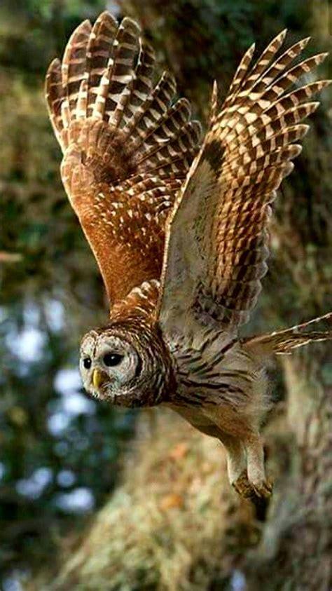 Owl In birds of prey barred owl in flight