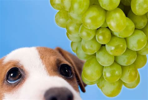 are grapes poisonous to dogs pet care tips