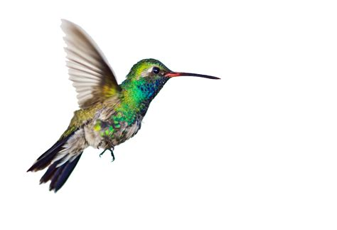 free hummingbird clipart pictures clipartix