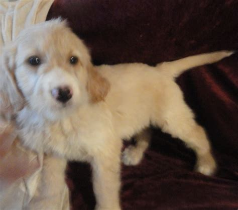 special needs puppies for sale non shedding goldendoodles puppies for sale breeder wi special needs friendly loving