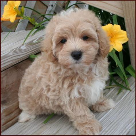 poodle no shed dogs breeds picture