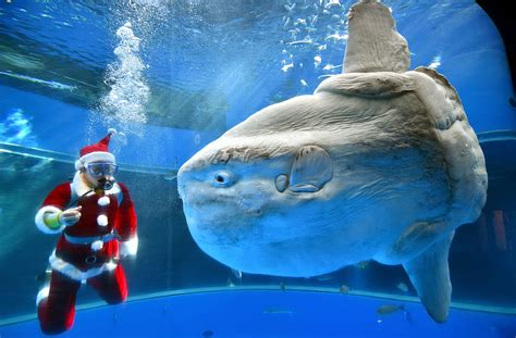 newest kid fish for christmas shark santa swimming with the fish underwater photos