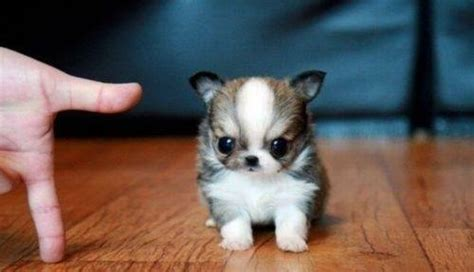 tiny puppy 24 insanely adorable teeny tiny pups weknowmemes