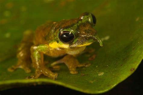una rana a frog una rana con nariz de quot pinocho quot hallada en el quot mundo perdido quot planeta curioso
