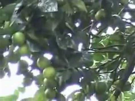 budidaya buah jeruk dengan pupuk organik nasa