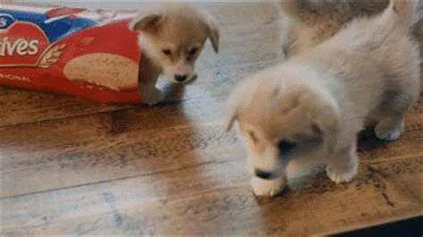 corgi puppy gif corgi gifs made by me corgi dogs